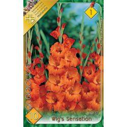 Virághagyma Gladiolus Wig's Sensation