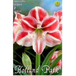 Virághagyma Amaryllis csíkos